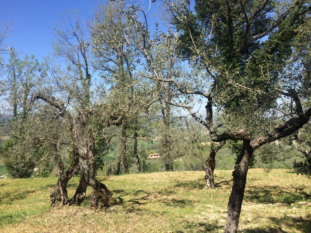 montefalco-montioni-olive-threes